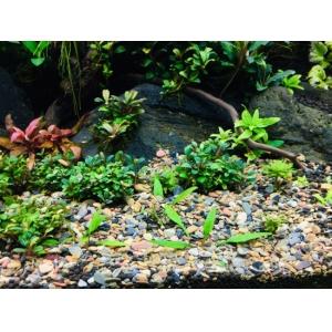Sạn suối tự nhiên trải nền cho bể cá