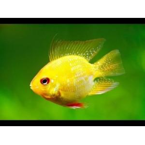 Cá Phượng Hoàng Vàng
